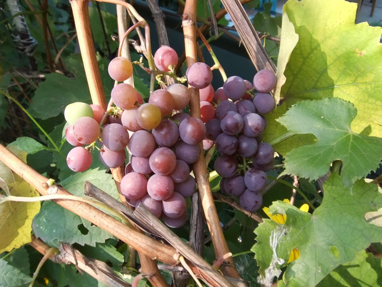 виноград розовый фото сказать, что музеев